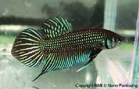 Betta sp. Mahachai, a very beautiful male specimen