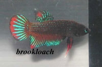 Betta splendens (For comparison, Thanks Mr.Brookloach)