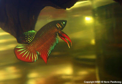 How big do wild bettas get to be yahoo answers for How big can a betta fish get